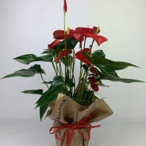 planta roja huesca