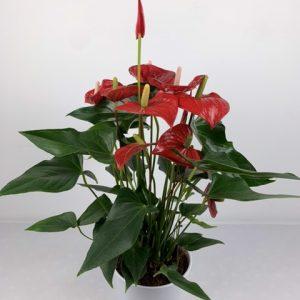planta roja en huesca