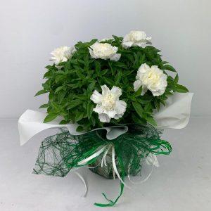 albahaca san lorenzo huesca